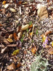 Safrankrokusse treiben, daneben blüht noch der Lavendel