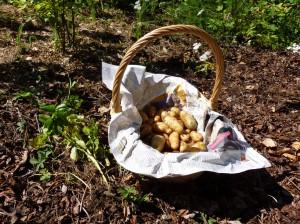 Erste Kartoffelernte: Heideniere