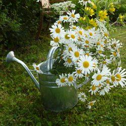 geschnittene Blumen in der Gießkanne