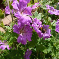 "Storchschnabel - Geranium Gracile-Hybride ""Sirak"""