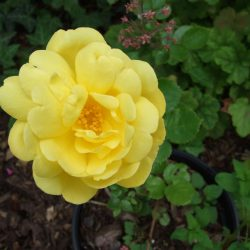 gelbe Rose - bisher unbekannt