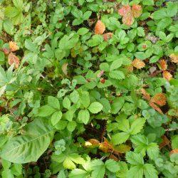 Walderdbeer-Plantage