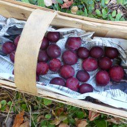 28 Blutpflaumen geerntet