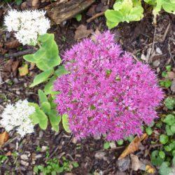 weiße Fetthenne mixt weiße und rosa Blüten