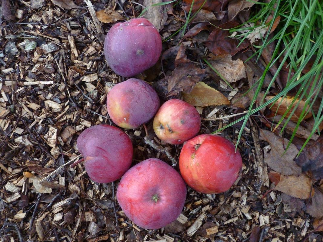 die letzten Äpfel 2013