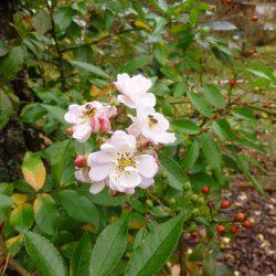 Rose Frau Hilde Ruf
