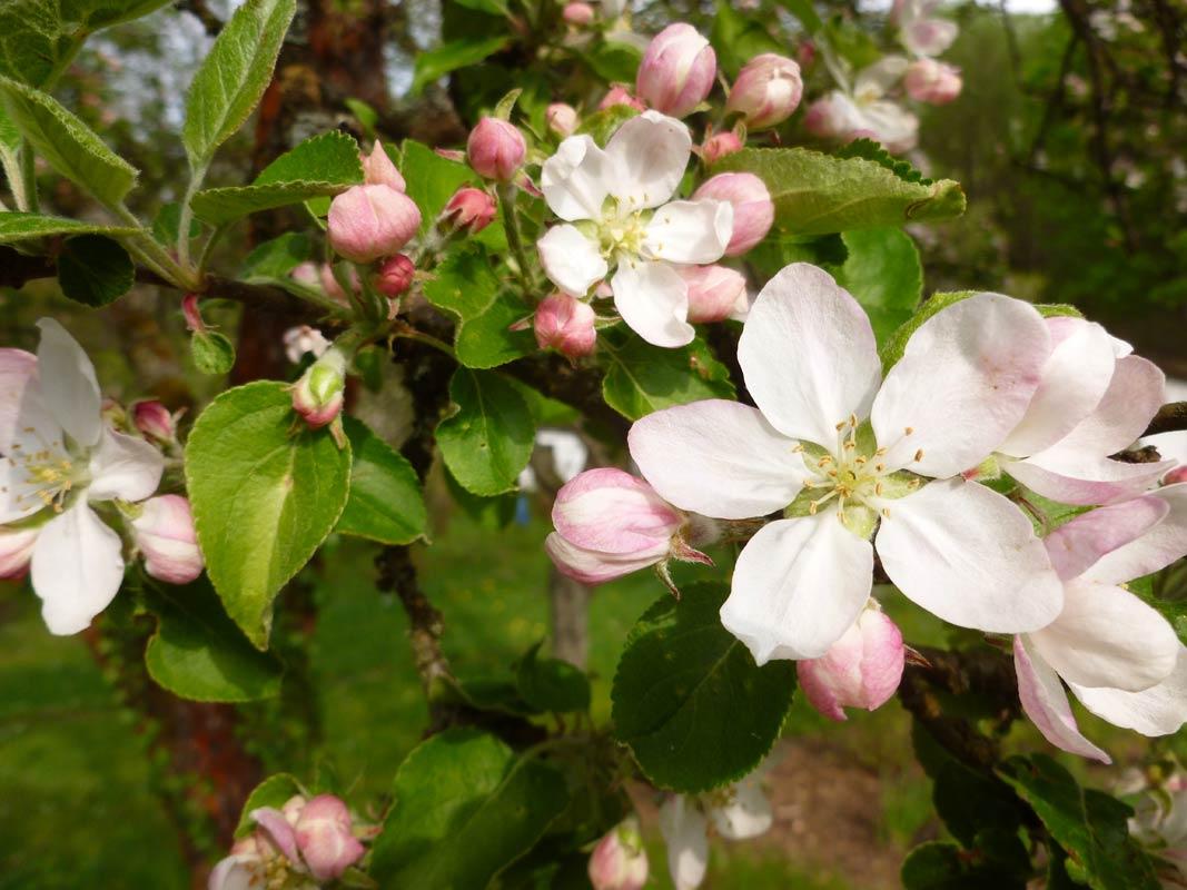 Apfelblüten 2014