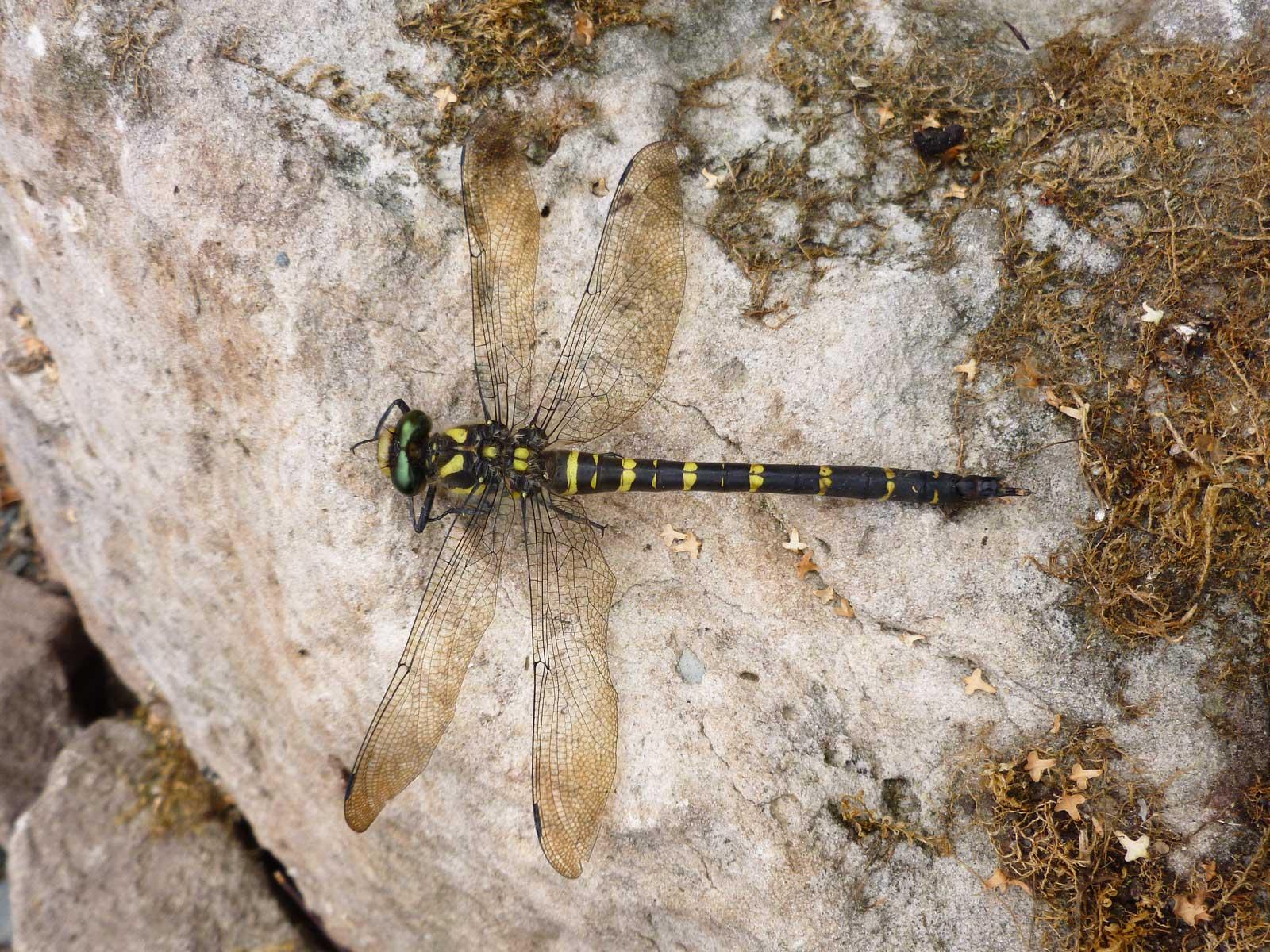 Libelle: zweigestreifte Quelljunger