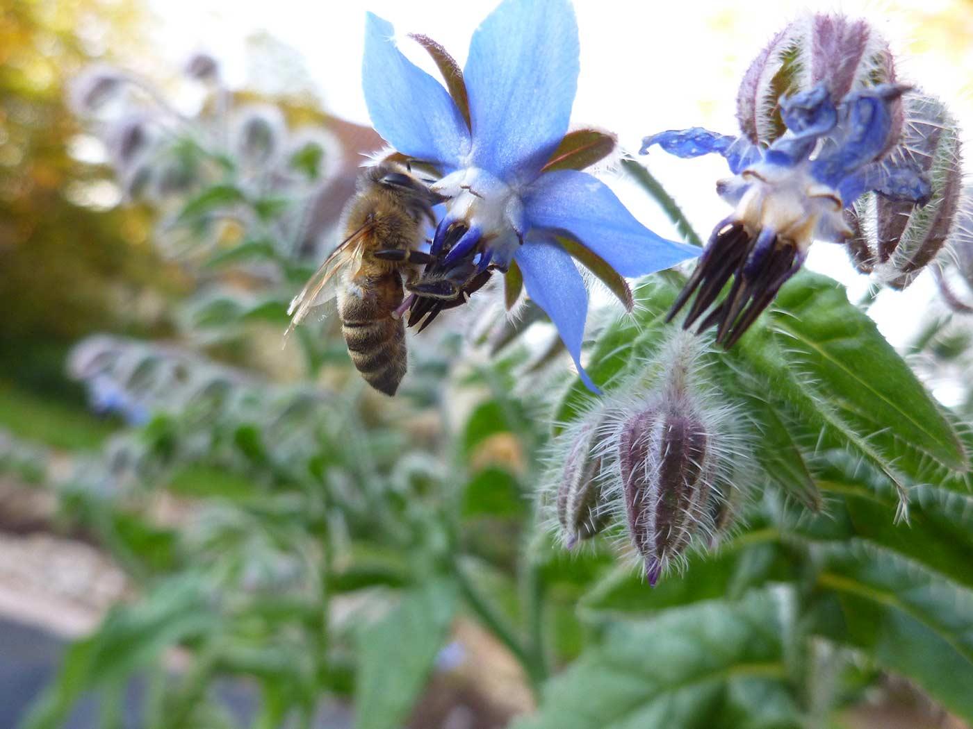 Borretschblüte mit Biene
