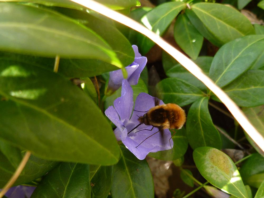Großer Wollschweber an Immergrün-Blüte