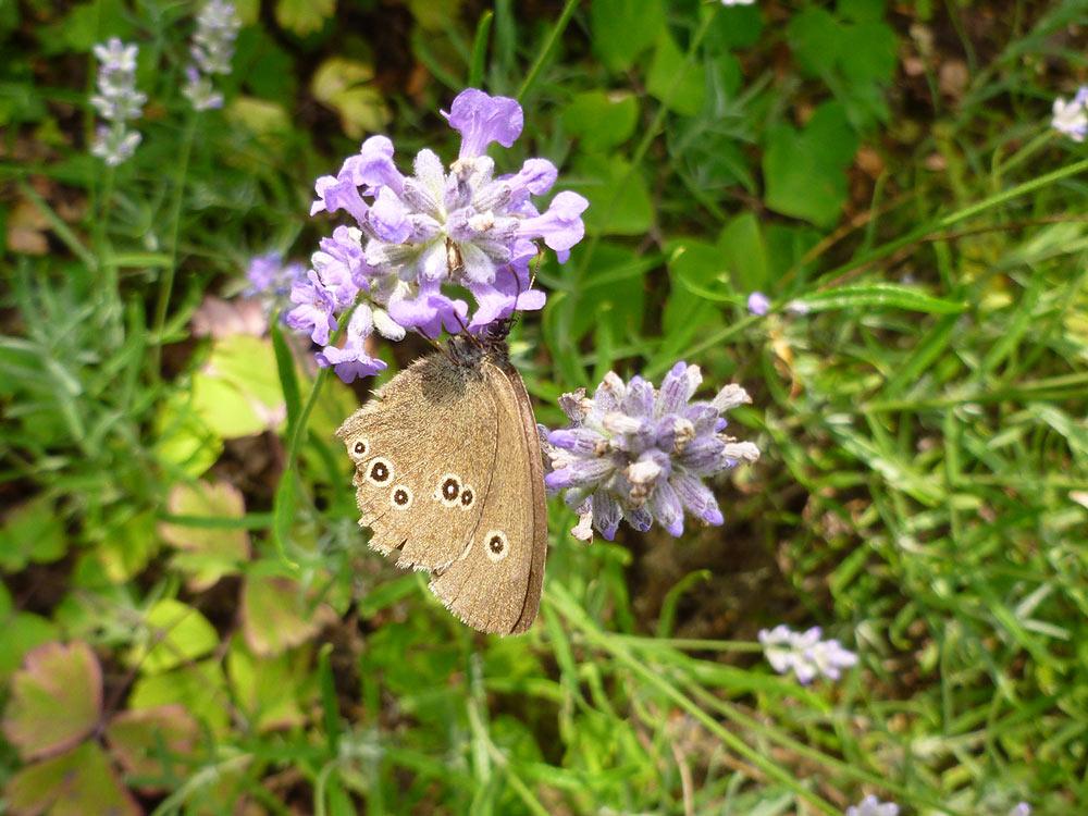 Edelfalter Brauner Waldvogel an Lavendel