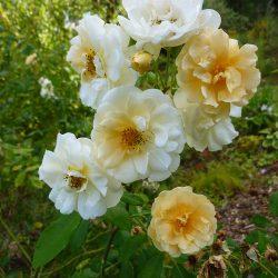 "Rose ""Danae"""