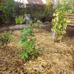 vier Beerensträucher gepflanzt