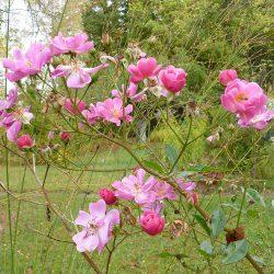 Rosenblüten (Lavender Dream)