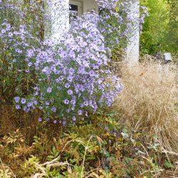 blaue Waldaster und Waldschmiele