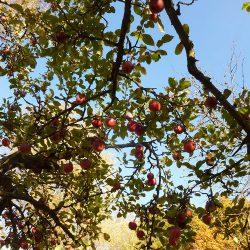 noch reife Äpfel am Baum