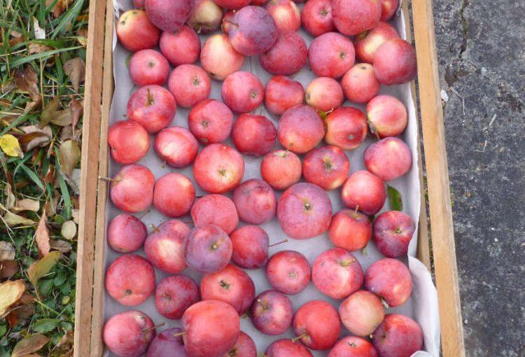 Apfelernte mit Herbststimmung