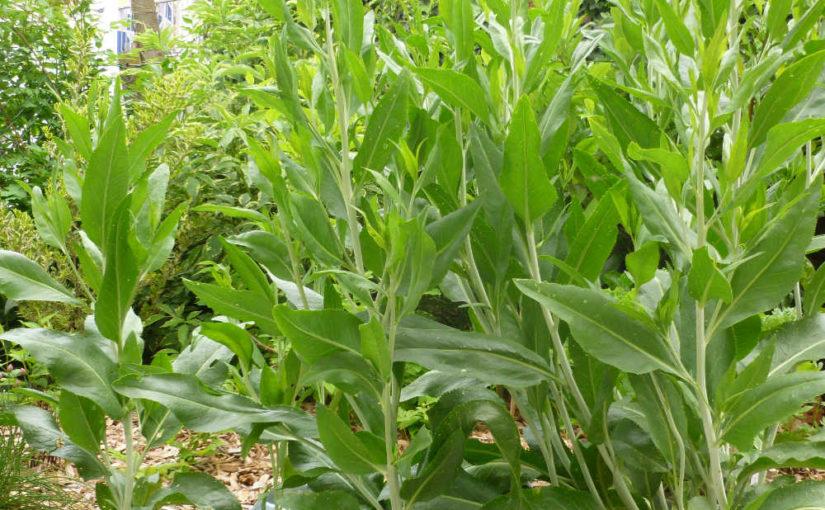 Ausdauernde Gartenkresse, Pfefferkraut