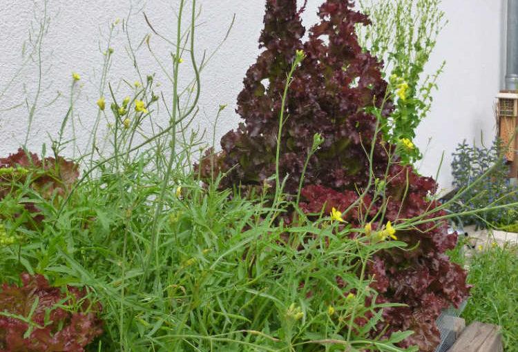 Dem Salat wird es zu eng im Beet