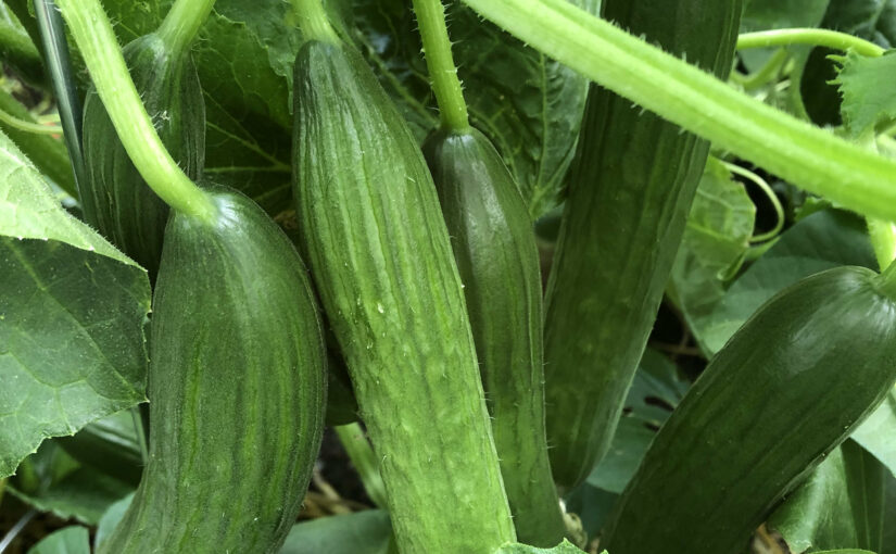Gemüse-Ernte – Gurke, Zucchini, Paprika