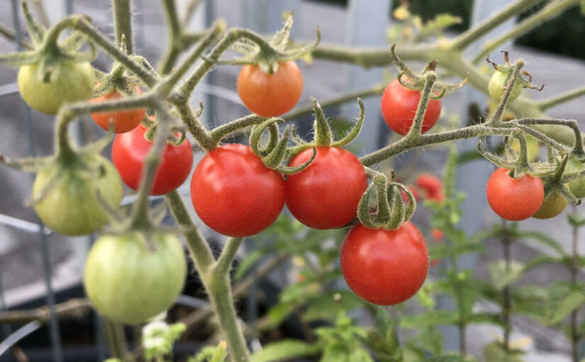 Gemüse-Ernte – Wildtomaten