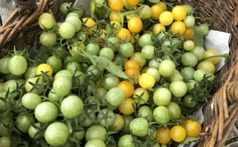 Tomaten ohne Ende